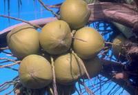 椰子蟹的食物:林投果實與椰子果實。